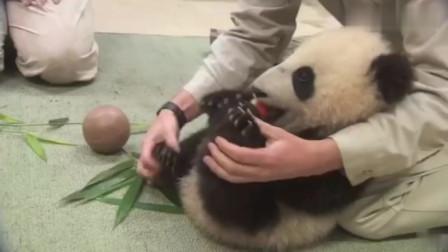 熊猫宝宝在国外的真实写照,做个体检都快被宠上天了!