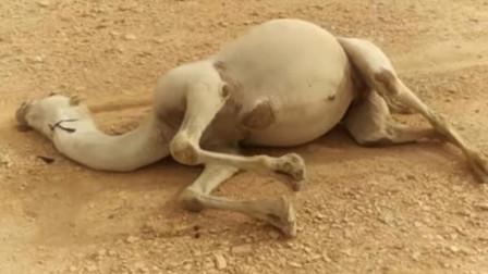 骆驼死后千万不能碰!尤其是大肚子这里,它会有什么危险呢?