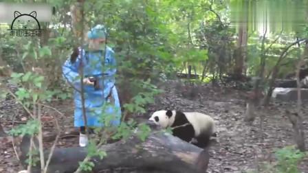 我居然被一只大熊猫嫌弃了,翻这么大的一个白眼,是什么意思