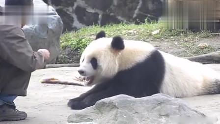 大熊猫:饭来张口!这是多少吃货梦寐以求的生活啊!