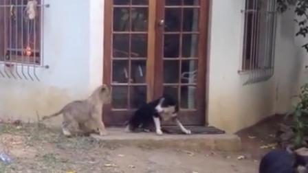 狗狗专心看家,一只小狮子偷偷靠近,下一幕太搞笑了!