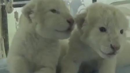 史上罕见!双胞胎白狮幼崽在济南诞生