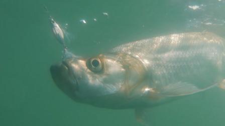 蓝旗鱼新品   濒死鳑鲏,慢摇铁板,就为翘嘴狂!