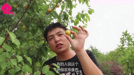 VLOG:农村小伙带你认识种新水果,口感脆甜,价格比杏高一倍还多
