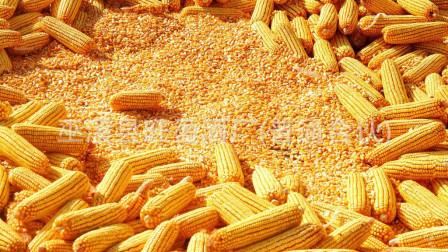 带棒的湿玉米和晒干后的玉米粒,卖哪种时的利润更大?