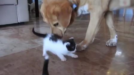 大狗子遇上新来的小奶猫,变身贴心奶爸,小心翼翼的超温柔