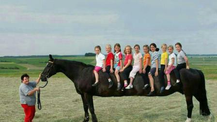世界上最大的马,人还没有马腿高,身体上可以乘坐10个人