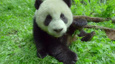 野生大熊猫吃着竹子,过着闲暇的日子