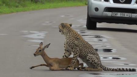猎豹在路上按住羚羊,却没有下一步动作,还东