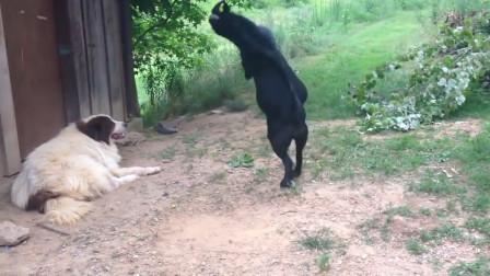 山羊挑衅休息的牧羊犬,牧羊犬一脸的不以为然