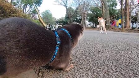 水獭散步看见柴犬,上去就想干架,下一秒忍住