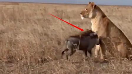 你的胆量不小啊!狮子也是你敢惹的吗,亡命浪子不怕