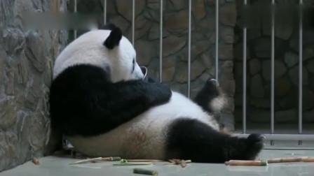 熊猫:梅奶妈说小丫头,把崽给我, 熊猫就把崽