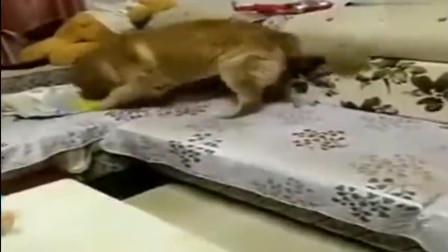 寶寶在沙發上睡著了金毛這么做太暖心了