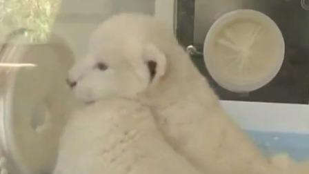 济南出生罕见双胞胎白狮 全球仅100只 每日新闻报 20191009 高清版
