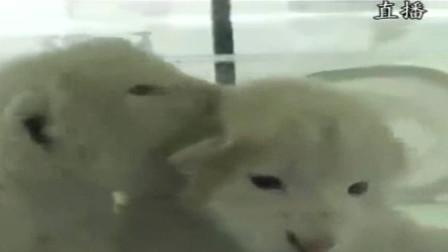 济南出生罕见双胞胎白狮