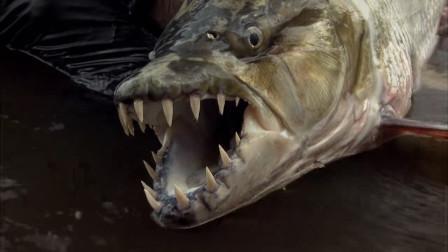 世界最凶猛的淡水鱼之一,以鳄鱼为食,堪称加强版食人鱼!