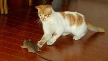 野外流浪的小猫咪,饿了自己抓老鼠充饥,比宠物猫强多了