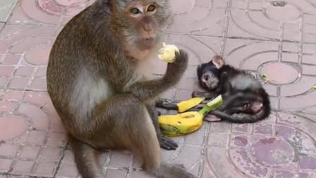 猴妈妈只顾着吃香蕉,等它反应过来时,小猴子已经凉透了