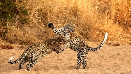"""年轻美洲豹挑战老年美洲豹,一招飞扑以后,被老家伙""""教做豹"""""""