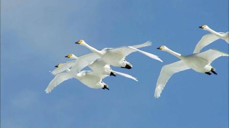 候鸟的迁徙是需要历经艰辛的,但是,为了生存它们别无选择