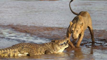 狮子过河来到鳄鱼地盘,小心翼翼,狮子:能保住性命就算赢了
