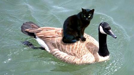 谁说猫咪战斗力无敌?这只鸭子打破谣言,小猫咪不过是我手下败将