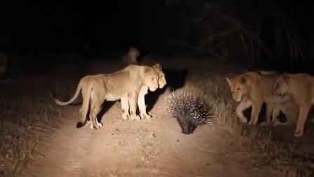 罕见!狮子偷袭豪猪,一爪子下去憋住别笑,豪猪:你想狮子借箭?