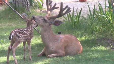 为何鹿肉没有成为我们餐桌上的传统肉食呢?看完涨见识了!
