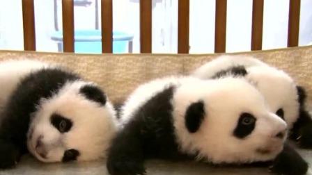 """大熊猫""""龙凤胎""""宝宝亮相 憨态可掬很可爱 每日新闻报 20191013 高清版"""