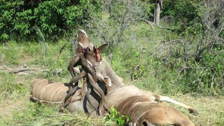 """非洲草原上两只野兽""""纠缠""""在一起,管理员走近后,哭笑不得"""
