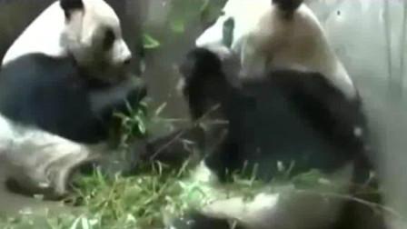 两熊猫乘飞机回成都配种繁育, 国宝也逃不过相亲!
