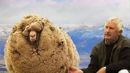 7年用同一招逃避剃毛,被称为最狡猾的绵羊,毛剃完主人懵了!