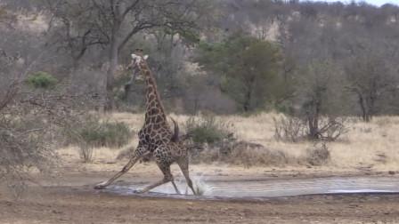 长颈鹿喝水原来这么麻烦,差点摔一跟斗栽在水池里,太搞笑了!