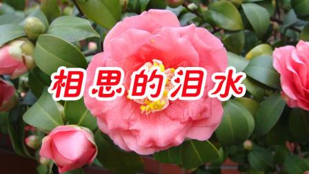 红蔷薇一首《相思的泪水》伤感情歌,句句走心,让人百听不厌!