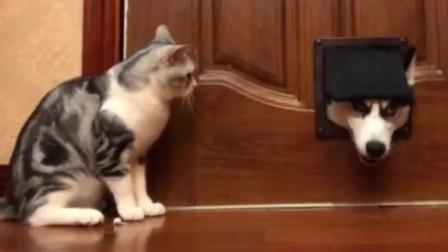 二哈想偷窥猫咪,没想到被猫咪按着脑袋打,太惨了