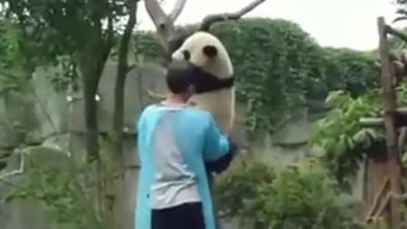 奶爸叫醒在树杈上睡着的大熊猫宝宝, 宝宝乖乖搂住奶爸脖子让奶爸抱回去