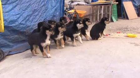 狗妈妈生八胞胎!家里闹得天翻地覆,场面快要控制不住了