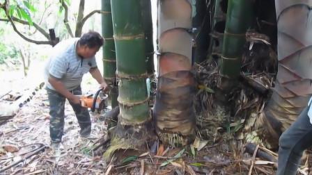"""世界上""""最大的""""竹笋,用电锯才能获得,广泛分布在我国云南!"""