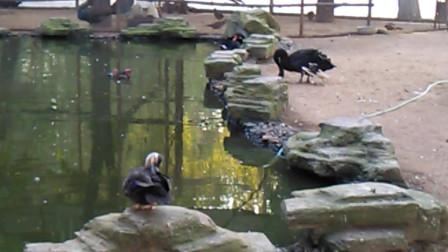 不多见的黑天鹅