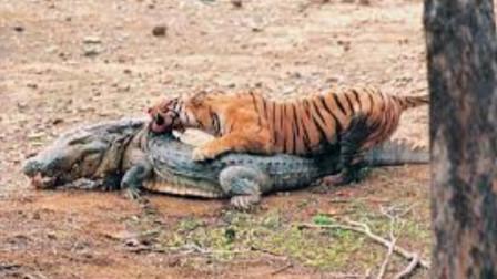 胆大鳄鱼竟敢偷袭百兽之王,瞬间就被老虎秒杀,镜头记录全过程!