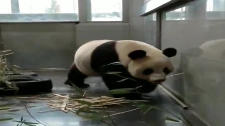 熊猫:好久没有见到奶妈了,金虎宝宝跟奶妈的暖心对话,真感人