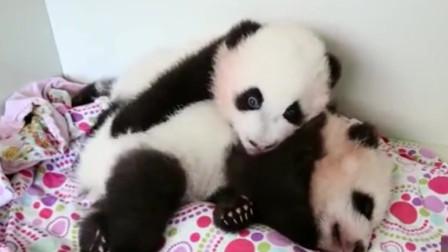萌宠:熊猫哥谁个觉都不得安宁, 旁边的弟弟太好动了