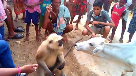公牛抢猴子饼干,下一秒猴子的反应亮了,镜头记录搞笑一幕