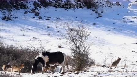 5头狼围住1匹马,专找马的破绽,马竟不知危险还藐视狼!