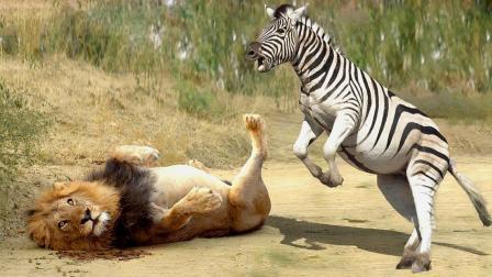 狮子猎杀斑马,结局让人意外:纵有同伴千万,危难时刻还得靠自己