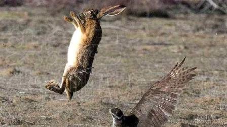 """老鹰狩猎野兔失败,反被野兔使出""""兔子蹬鹰"""",这操作太厉害了!"""