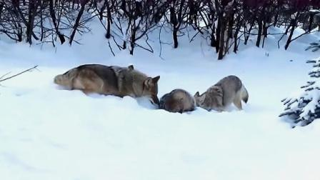 美洲獾被2匹野狼围攻,个小脾气大,以1敌2打的狼屁滚尿流!