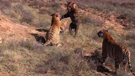 两只雄虎相互厮杀!母老虎淡定在一旁看戏!网友:太激烈!