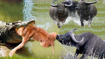 狮子玩命追杀野牛,关键时刻鳄鱼跑来捣乱,野牛乘机逃生!